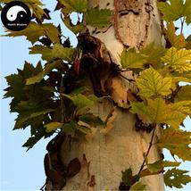 Buy Platanus Tree Seeds 50pcs Plant Platanus Orientalis Tree For Xuan Li... - $5.99