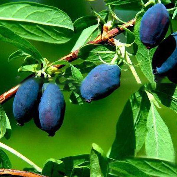 Egrow 200Pcs/Pack Lonicera Caerulea Fruit Seeds Home Garden Plants Honeyberry Bl image 3