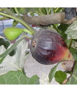 2 Cuttings of Texas Blue Giant Fig, Large Tasty Fig Zone 6 to 11 - $10.77