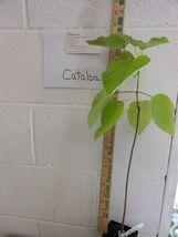 Catalpa Tree image 3