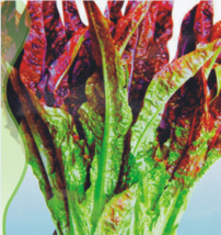 30 Seed/Pack Red Salad Bowl Leaf Lettuce Seeds Lactuca Sativa Organic Ve... - $6.90