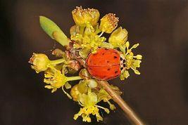 Ship From Us 10 Spicebush Wild Allspice Lindera Benzoin Yellow Flower Seeds SBR4 - $12.00