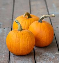 Pumpkin Seeds - Sugar Pie - Gardening - Yard, Garden & Outdoor Living - $28.99+