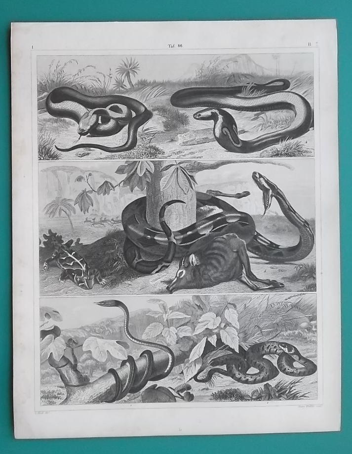 Primary image for AMPHIBIA Reptiles Green Snake Boa Horn Frog Copperhead - 1844 Superb Print