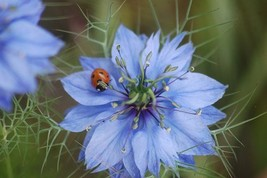 Non GMO Love in a Mist Flower Seeds Nigella damascena (5 Lbs) - $158.35