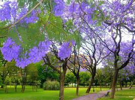 Jacaranda Mimosifolia, Blue Rare Flowering Tree Flamboyan Delonix Seed 10 Seeds - $18.00