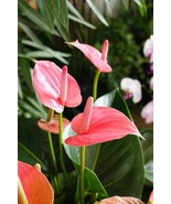 Anthurium Pink - Live House Plant - Easy to Grow -Cleans the Air Fit 1Q... - $12.19