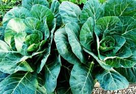 Collard Seed, Champion, Bulk Seed, Heirloom Collard Greens 1oz approx 80... - $36.57