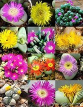 20 Seeds Flowering ARGYRODERMA Mix - $19.96
