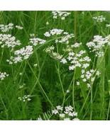 50Pcs Cumin Herb Seeds Cuminum Cyminum Seed Versatile Little Herb Plant - $19.27