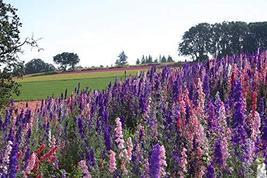 200 Seeds Larkspur Rocket Mix Flower Seeds (Delphinium Consolida) TkThesun - $33.66