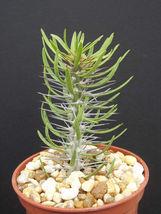 "SHIP From US, 4"" Didierea sp nova aff trollii, succulent plant cacti ECC - $66.99"