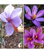 50pcs Crocus Seeds Sativus Bulbs Saffron Flowers Best Organic Spice Gard... - $1.99