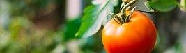 20 Seeds of Chef's Choice Orange Tomato - $20.79