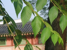 Siberian Elm 1 to 2 Foot Tall - Bare Root - 5 Plants Per Order - $49.80