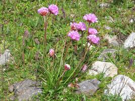 20 Seeds Armeria alpina - $7.00
