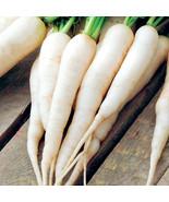 Non GMO White Icicle Radish - 100 Seeds - $7.99