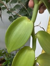 """Vanilla planifolia Orchid Plant Species 24"""" Cutting Rooted And Ready To Grow 127 image 5"""