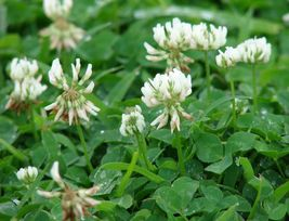 SHIPPED From US, Ladino White Clover Seeds, 3 pounds RM - $124.99