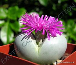 RARE ARGYRODERMA SUBALBUM @ mesembs exotic succulent cactus seed stones ... - $18.00
