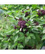 Basil, Thai Sweet Seed Sample  Package, 15 + Seeds, Perfect for the average gard - $0.89