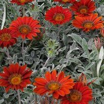SHIP FROM US 10 Gazania Kiss Frosty Red Flower Seeds (Gazania Rigens), UTS04 - $11.98