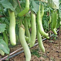 Shipped From Us 100+HARABEGAN Eggplant Non-GMO Organic India Heirloom Seeds,CB08 - $17.00