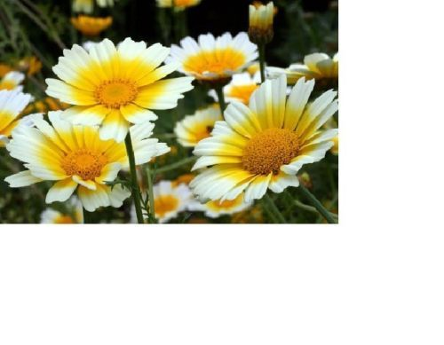 SHIPPED From US,PREMIUM SEED:600 Particles of Garland Daisy Flower,Hand-Packaged