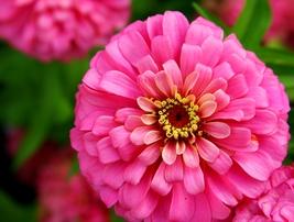 Zinnia -Pink Seeds, Pink Zinnia flower seeds - $4.99