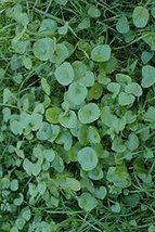 100 Purslane Winter (Claytonia perfoliata) Seeds - $8.99