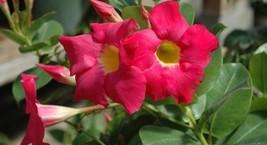 """1 Starter Plant 2"""" Pot Mandevilla Plant, Red Riding Hood Mandevilla Flow... - $42.00"""