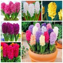 50 Pcs Real Hyacinth Seeds Green Plants(Not Hyacinth Bulbs) Easy To Grow - $3.51