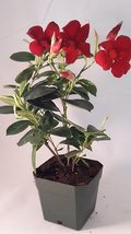 "Red Brazilian Jasmine Plant 4"" Pot - Indoors/Out - Mandevilla  - £17.11 GBP"