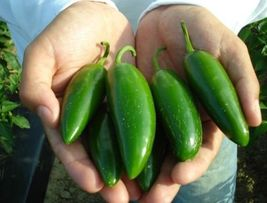 SHIPPED FROM US 500 Jalapeno Pepper Heavy Yielding Pepper Vegetable Seed... - $15.92