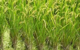 SHIP FROM US 4 Ounces Seeds Rex Long Grain White Rice,DIY Plant Seeds RM - $14.99