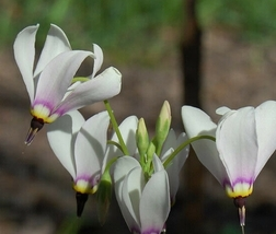 10 Bulb - Shooting Stars Dodecatheon Meadia #FSPL1 - $30.99