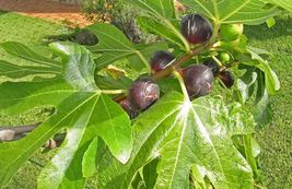 Violette du Bordeaux Fig Tree Ficus carica Plant Negronne Fig Bare root ... - $17.49
