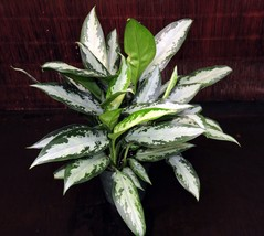 "6"" Pot Aglaonema Jubilee Chinese Evergreen Excellent Tropical Low Lt Hou... - $77.89"