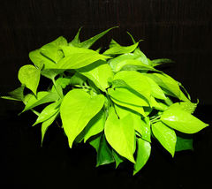 "Large Neon Pothos Epipremnum aureum Neon Beautiful Chartreuse Leaves 6"" ... - $53.99"