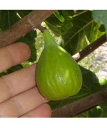 3 Cuttings, Flanders Fig Cuttings, Large Flanders Fig Tree Cutting, Zone... - $8.79
