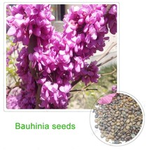 Orchid Tree Seeds Bauhinia bonsai tree seeds 100% true seed 50 particles... - $4.07
