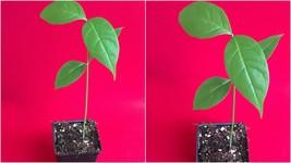 1 Peanut Butter Fruit Bunchosia Armeniaca Potted Tree Plant - Outdoor Li... - $51.99