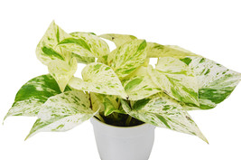 "Pothos Snow Queen - 4"" Pot - Houseplant - Home Garden - Outdoor Living - D11 - $41.99"