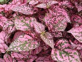 50 seeds Hypoestes phyllostachya 'Splash Select Pink', Polka Dot Plant - $13.49