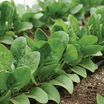 Auroch Spinach Seed, Vegetable Seeds,Ship From US - $17.00