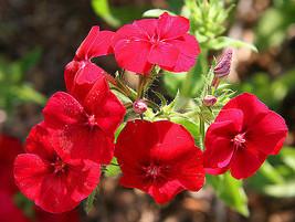 Phlox Drummond, Red Flower, 170 Seeds! - $12.25