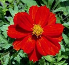 500 Pcs Red Cosmos Seed Red Sunshine Sulfur Cosmos, Shorter Variety Non-... - $13.99