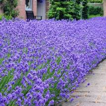 Lavender  Munstead Lavandula Angustipholia 25 Perennial Herb Seeds - $6.95
