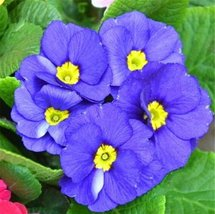 Fresh Rare Blue Primrose Garden Easy Planting 100pcs Seeds Flower Semillas - $8.40