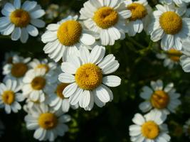 50 Organic Feverfew Daisy - Tanacetum Parthenium Flower Seeds - $8.99
